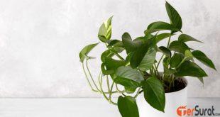 4 Jenis tanaman hias Sirih Gading yang cocok untuk dekorasi rumah