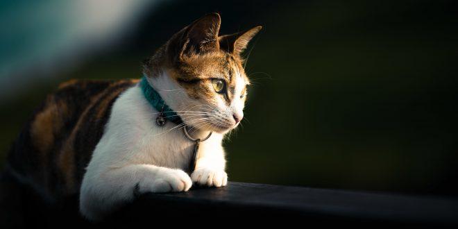 Hati-hati penyakit terbaru pada kucing, Diabetes