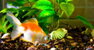 Ketahui 5 jenis ikan hias air tawar yang mudah perawatannya